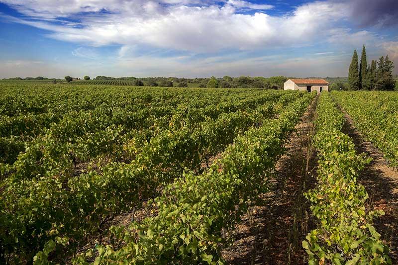 Saint-Gilles-du-Gard, vignobles des Costieres de Nîmes. Crédit : Patrick FRILET / HEMIS 2655926